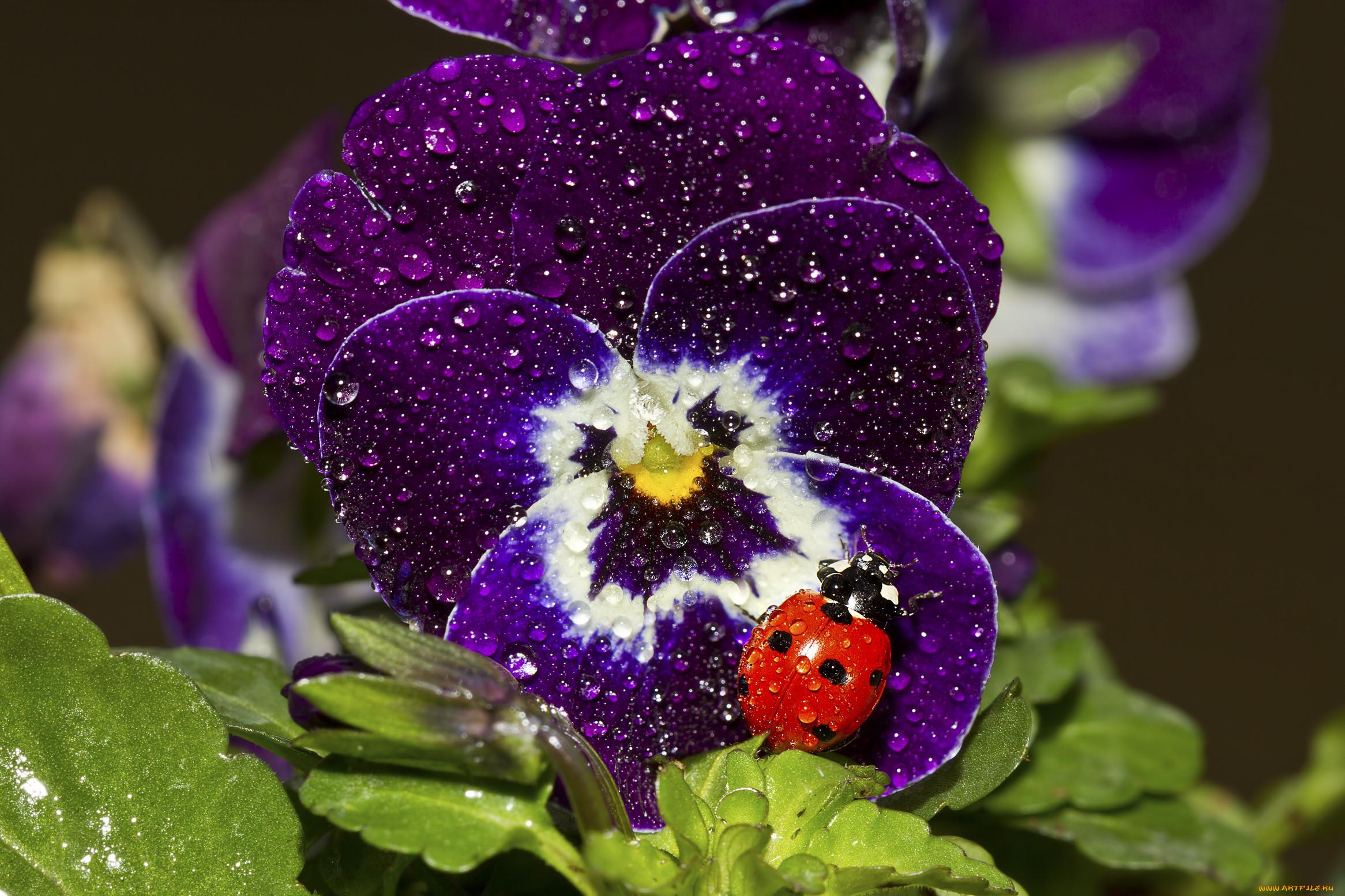 мамочек цветы фиалки фото красивые бесплатные обои
